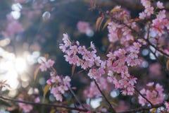 Flor de Sakura de la flor de cerezo o del rosa con el rayo de sol Imagenes de archivo