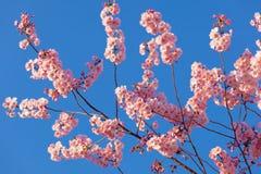 Flor de Sakura de la primavera Fotos de archivo libres de regalías
