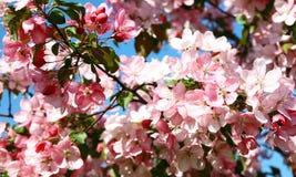 Flor de Sakura de la primavera Fotos de archivo