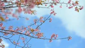 Flor de Sakura en día del cielo azul Imagenes de archivo