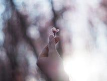 Flor de Sakura en el mini finger del corazón sobre backg borroso del árbol de Sakura Foto de archivo