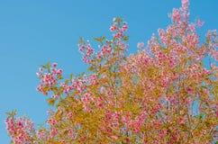 Flor de Sakura en fondo del cielo azul Imagen de archivo libre de regalías