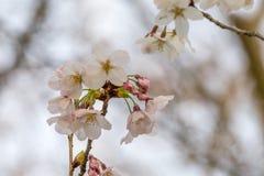 Flor de Sakura en Japón Foto de archivo libre de regalías