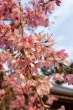 Flor de Sakura en Japón Imagen de archivo libre de regalías
