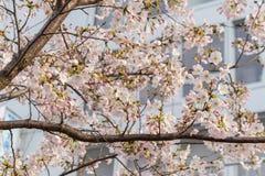 Flor de Sakura en Japón Fotos de archivo libres de regalías
