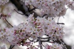 Flor de Sakura en Japón Imagenes de archivo