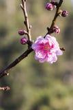 Flor de Sakura en jardín Fotografía de archivo libre de regalías