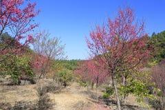 Flor de Sakura en la montaña Fotos de archivo libres de regalías