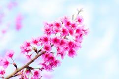 Flor de Sakura en la Tailandia del norte Fotografía de archivo