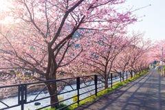 Flor de Sakura en parque Imagen de archivo