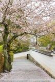 Flor de Sakura en primavera Foto de archivo