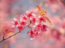 Flor de Sakura en Tailandia Fotografía de archivo