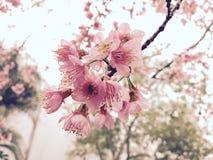Flor de Sakura en Tailandia Foto de archivo libre de regalías
