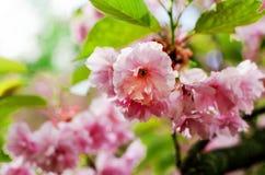 Flor de Sakura en una primavera Fotos de archivo libres de regalías