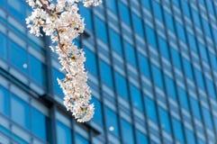 Flor de Sakura en una rama con el edificio del negocio detrás Imagen de archivo libre de regalías