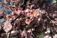 Flor de Sakura, flor falsa Fotografía de archivo