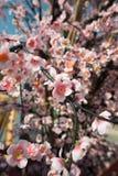 Flor de Sakura, flor falsa Fotos de archivo