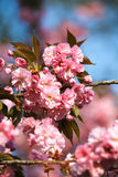 Flor de Sakura, fim acima Foto de Stock