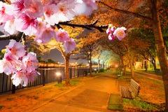 Flor de Sakura, Japón Fotografía de archivo libre de regalías
