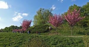 Flor de Sakura no jardim botânico fotos de stock