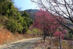 Flor de Sakura pela estrada Fotos de Stock Royalty Free
