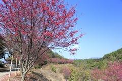 Flor de Sakura por el camino de la montaña Imágenes de archivo libres de regalías
