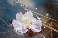Flor de Sakura que flota en el agua Fotografía de archivo