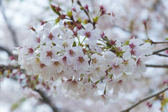 Flor de Sakuras imagens de stock