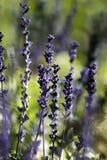 Flor de Salvia Farinacea imagenes de archivo