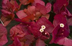 Flor de Santa Rita Imagen de archivo