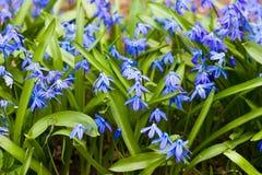 Flor de Scilla Foto de archivo libre de regalías
