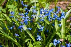 Flor de Scilla Foto de archivo