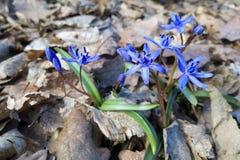 Flor de Scilla Bifolia Fotos de Stock Royalty Free