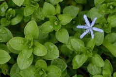 Flor de Scilla entre as folhas do morrião dos passarinhos Imagem de Stock
