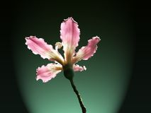 Flor de seda del árbol de la seda Fotografía de archivo