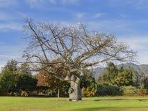 Flor de seda grande da árvore de floss com flores brancas foto de stock