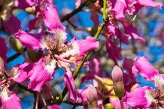 Flor de seda de Speciosa do Ceiba da árvore de Floss foto de stock royalty free