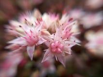 Flor de Sedum Fotografía de archivo libre de regalías