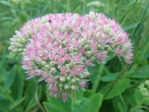 Flor de Sedum na flor Fotografia de Stock