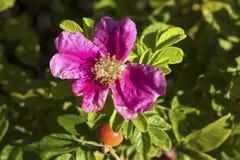 A flor de selvagem aumentou foto de stock royalty free