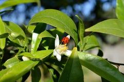 Flor de Sicília, close-up de Clementine Flower com uma joaninha nela foto de stock