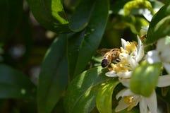Flor de Sicília, close-up de Clementine Flowers com uma abelha que recolhe o pólen imagem de stock