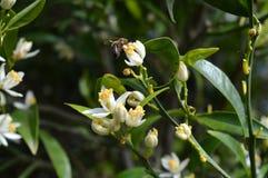 Flor de Sicília, close-up de Clementine Flowers com uma abelha que recolhe o pólen fotos de stock royalty free