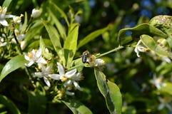Flor de Sicília, close-up de Clementine Flowers com uma abelha que recolhe o pólen fotos de stock