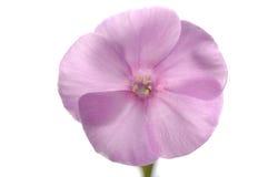 Flor de Sihgle del phlox rosado Fotografía de archivo