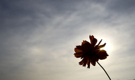 Flor de Sillhouette Fotos de Stock Royalty Free