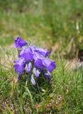Flor de sino alpina Imagem de Stock