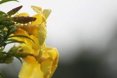 Flor de sino amarelo Fotografia de Stock Royalty Free