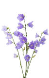 Flor de sino azul Fotografia de Stock