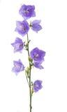 Flor de sino azul Fotos de Stock Royalty Free